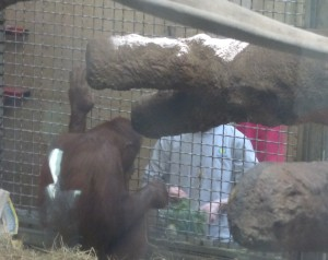 Orangutan being given lunch. It was fun watching him sort what he wanted to eat!